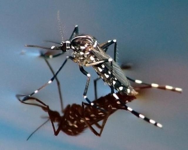 mosquito mal